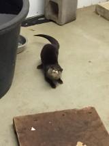 new otter (1)