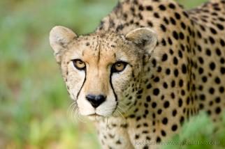 single cheetah2. sartore