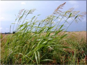 A sample photo of Johnson grass. Johnson grass has overtaken K-18 between Ogden and Manhattan, but a contract hold with the Kansas Department of Transportation has Riley County's hands tied in dealing with the plant. (Courtesy photo)