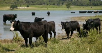 Livestock producers receive warning from K-State veterinarian on heat severity in cattle